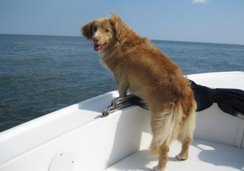 Halley Rimmer | Nova Scotia Duck Tolling Retriever
