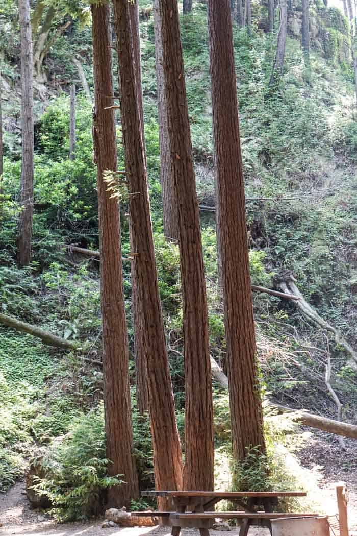 Redwoods at Lime Kiln State Park