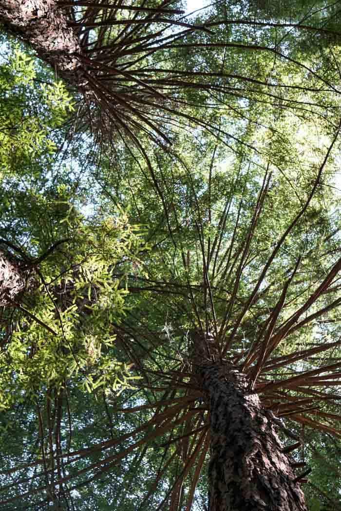 Lime Kiln State Park Redwood Forest
