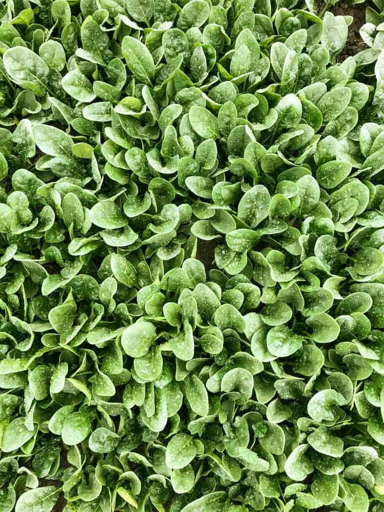 Benefits of Eating Organic Spinach